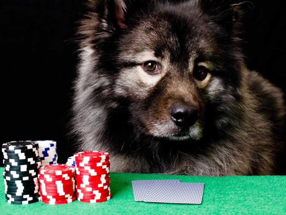 Keeshond - Lapponian herder